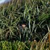 Alvin in flax (Phormium tenax) bushes
