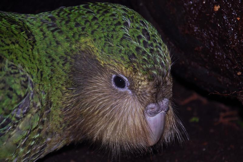 Kakapo (Strigops habroptilus). <br /> Moss, Margaret Marie's chick.