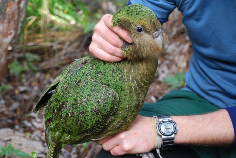 Kakapo (Strigops habroptilus). <br /> Mork, Cyndy's boy.