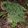 Kākāpō (Strigops habroptilus). <br /> Mork, Cyndy's boy.