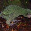 Kākāpō (Strigops habroptilus). <br /> Hillary, Alice's chick.