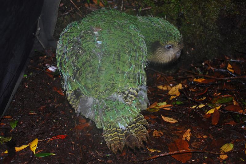 Kakapo (Strigops habroptilus).<br /> My first kakapo! This is Hillary, Alice's chick.
