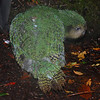 Kakapo (Strigops habroptilus).<br /> My first kakapo! This is Hillary, Alice's chick.