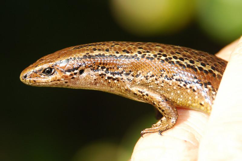Southern Skink (Oligosoma notosaurus)