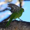 Yellow-crowned parakeet (Cyanoramphus auriceps), Codfish Island