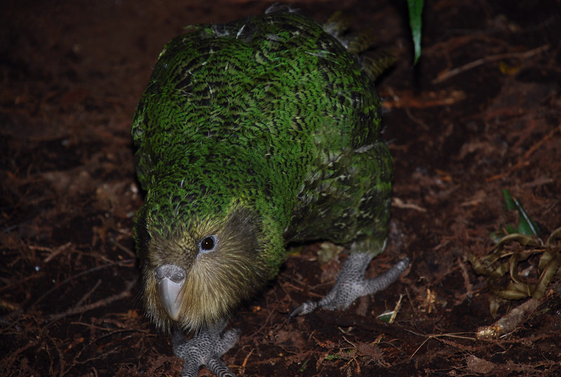 Kākāpō (Strigops habroptilus). <br /> Moss, Margaret Marie's chick.