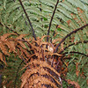 Tree fern. Whenua Hou / Codfish Island