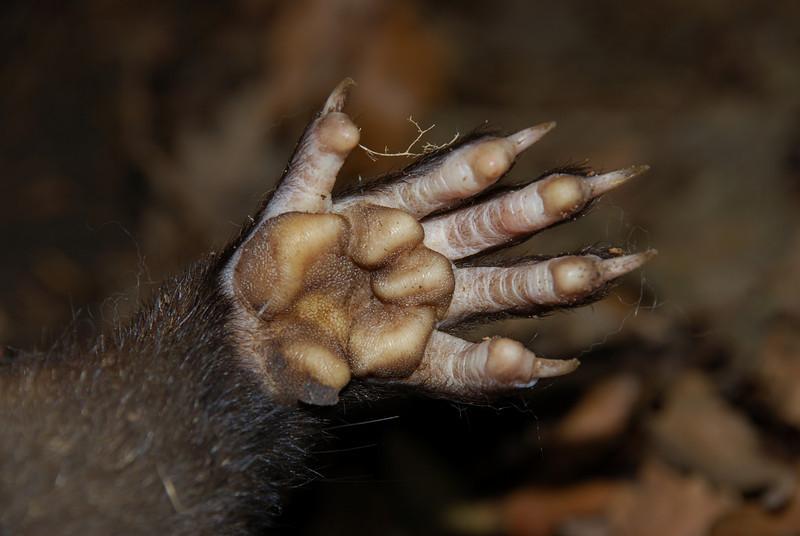 Anterior paw