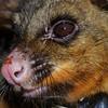Brushtail possum (Trichosurus vulpecula) portrait