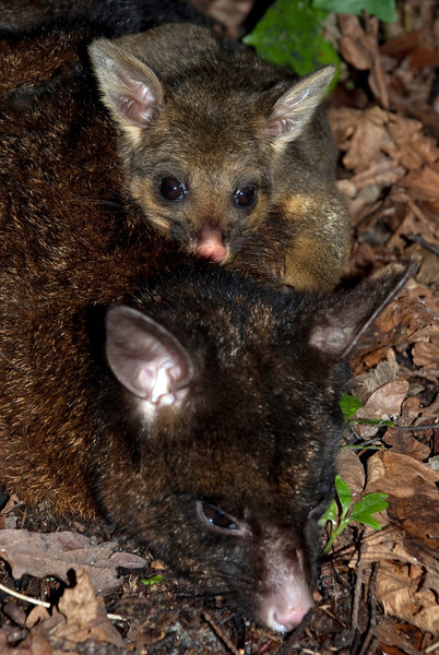 Brushtail possum (Trichosurus vulpecula) joey with mother