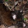 Brushtail possum (Trichosurus vulpecula) joey with mother