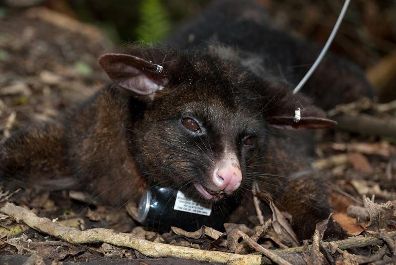 Brushtail possum (Trichosurus vulpecula) with GPS collar