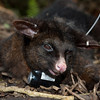 Brushtail possum (Trichosurus vulpecula) with GPS collar