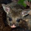 Brushtail possum (Trichosurus vulpecula) mature joey (back-rider)