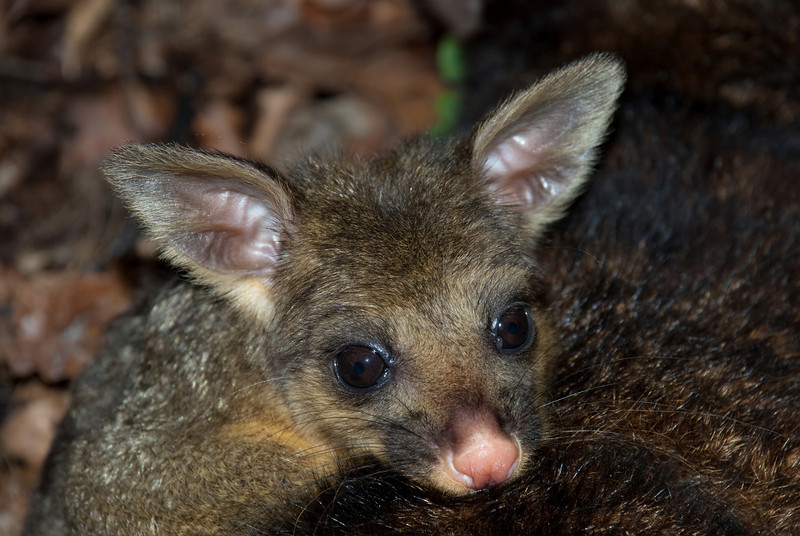 Brushtail possum (Trichosurus vulpecula) mature joey (back-rider)