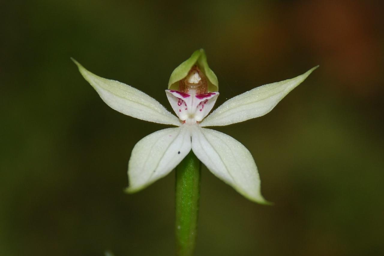 Stegostyla lyallii (a native orchid). Eglinton Valley, Fiordland