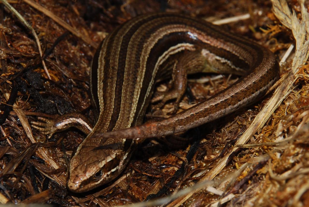Common skink (Oligosoma polychroma)