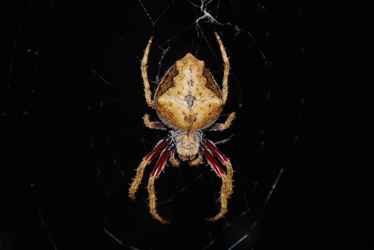 Garden orbweb spider (Eriophora pustulosa) with yellow mealworm (Tenebrio molitor). Knobs Flat, Eglinton Valley, Fiordland National Park.
