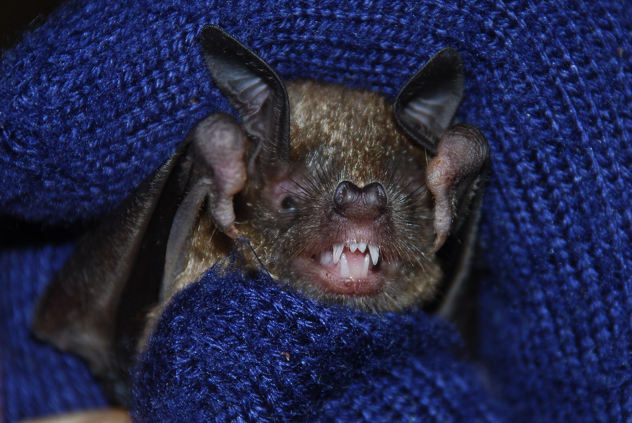Short-tailed bat (Mystacina tuberculata)