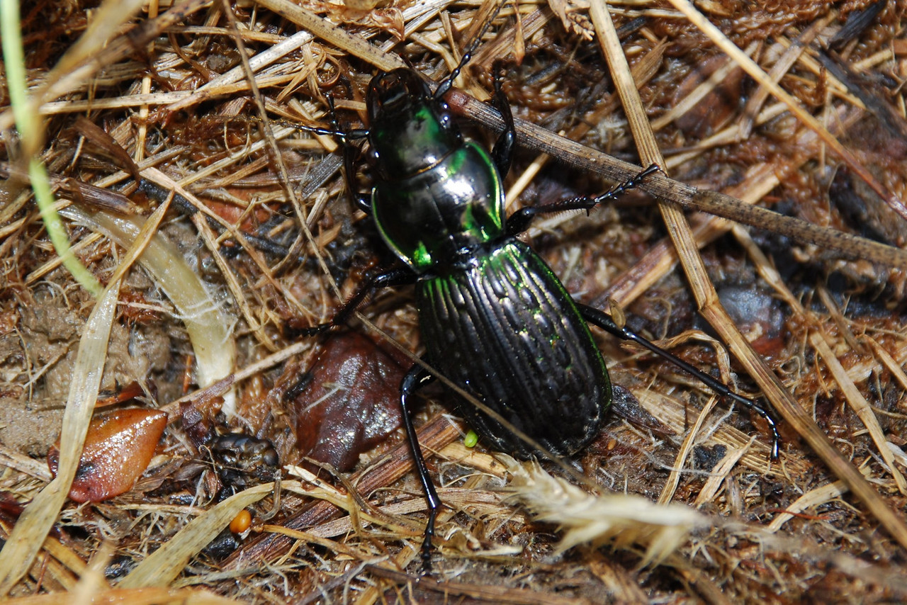 Bubbled ground beetle (Megadromus bullatus). Eglinton Valley, Fiordland National Park.