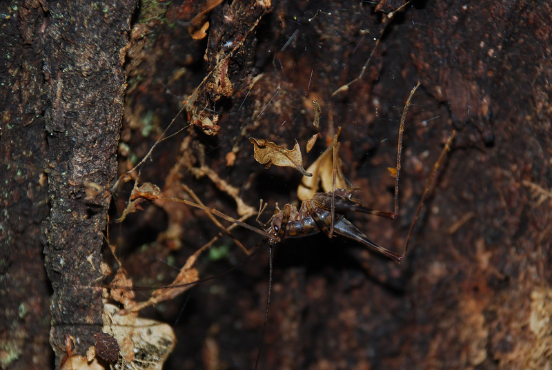 Cave wētā / tokoriro (Miotopus richardsi). Knobs Flat, Eglinton Valley, Fiordland National Park.