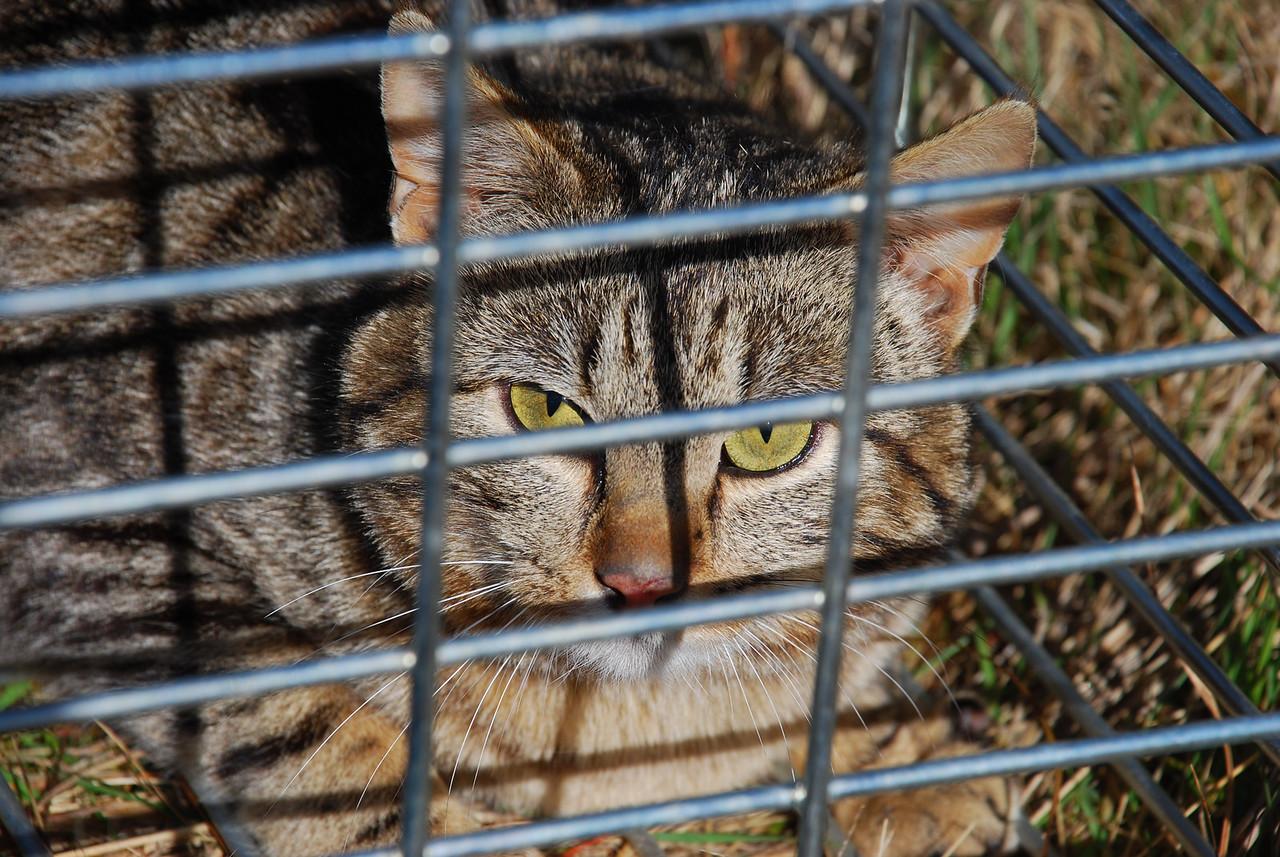 Feral cat (Felis catus)