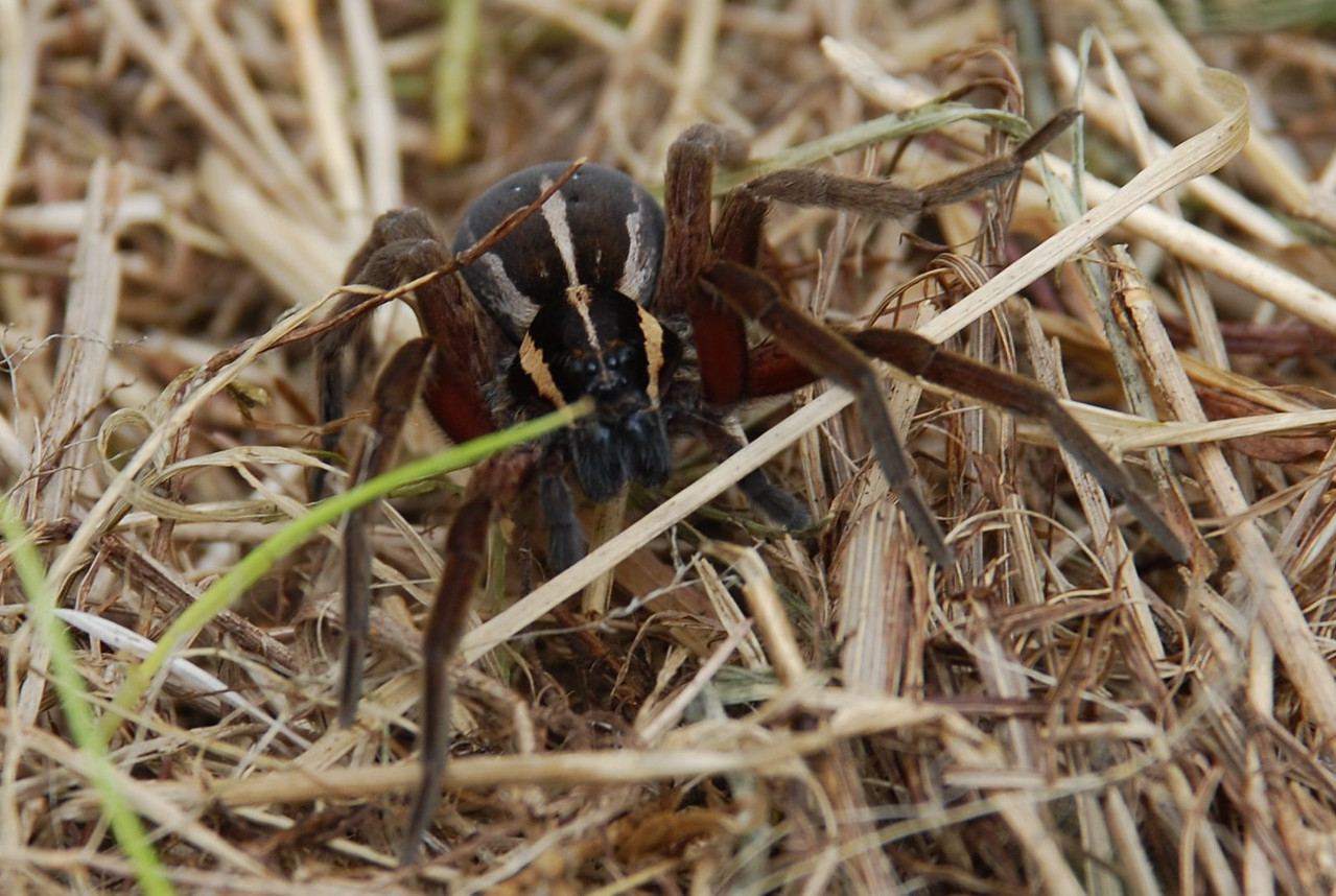 Nurseryweb spider (Dolomedes minor). Eglinton Valley, Fiordland.
