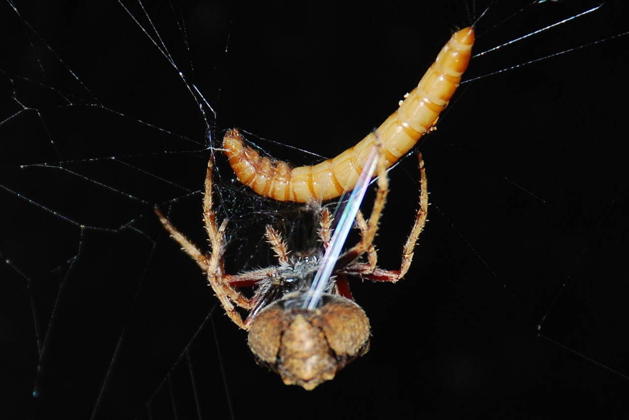 Garden orbweb spider (Eriophora pustulosa) with yellow mealworm (Tenebrio molitor)