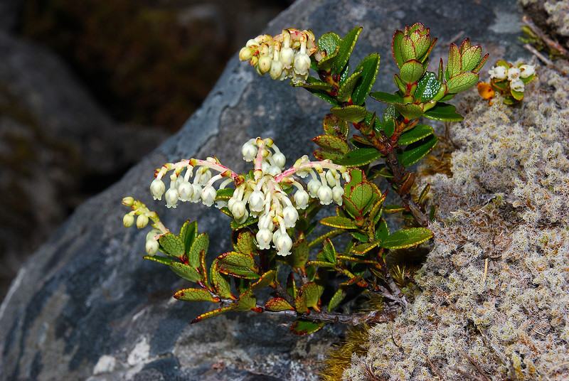 Scarlet snowberry (Gaultheria crassa). Moraine Creek, Fiordland