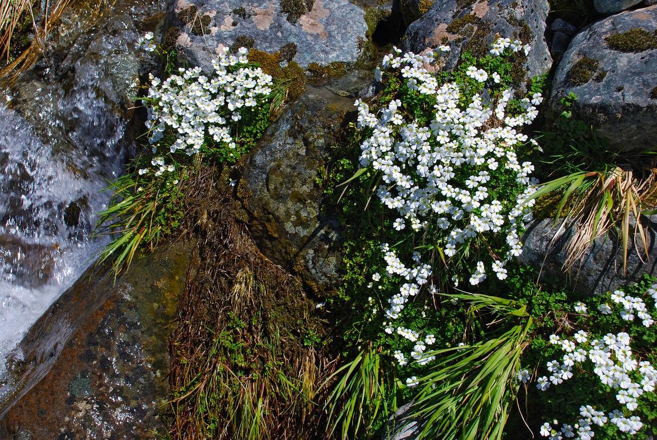 Creeping ourisia (Ourisia caespitosa). Lake Adelaide, Fiordland