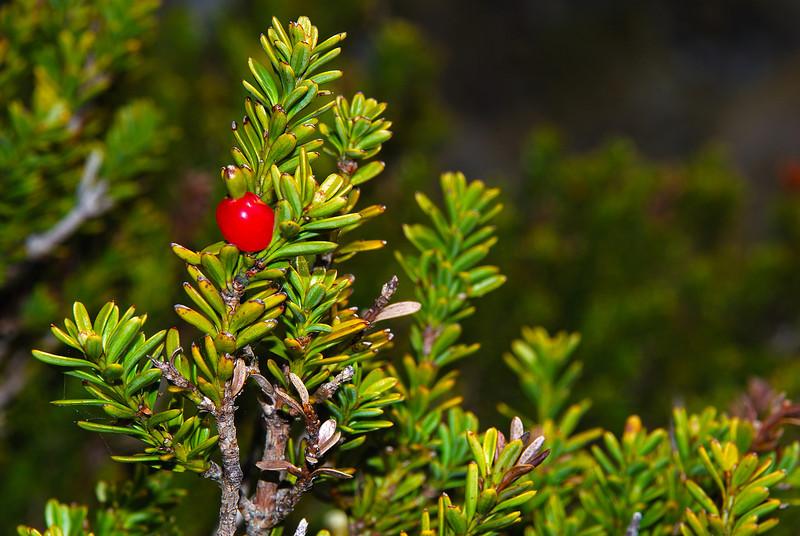 Snow tōtara (Podocarpus nivalis). Moraine Creek, Fiordland