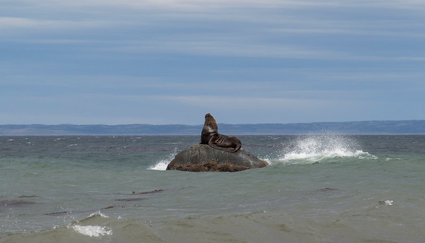 A giant sea lion near the shore just south of Punta Arenas