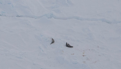Seals on sea ice in the Weddell Sea