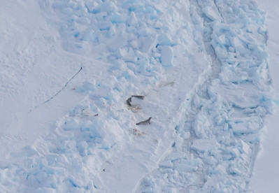 Seals on ridged/rubble sea ice in the Weddell