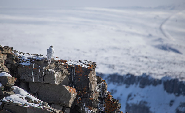 The gyrfalcon overlooking Thule and Dundas Village