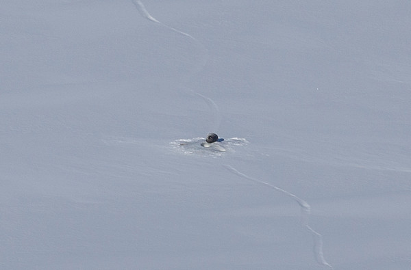 A ring seal on the sea ice near its hole along a crack just west of Dundas