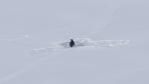 We find another seal just out of his hole on the ice!