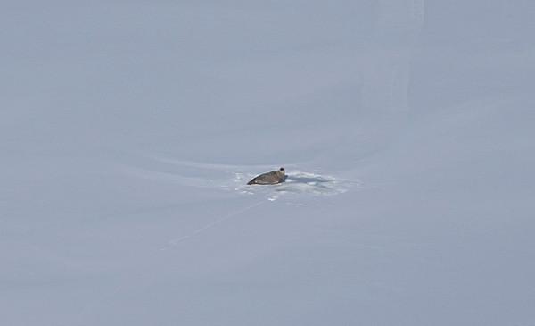 A Harbor seal(?) near a hole on the sea ice just west of Dundas