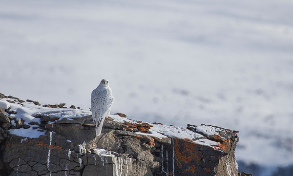 Another gyrfalcon spots us taking photos