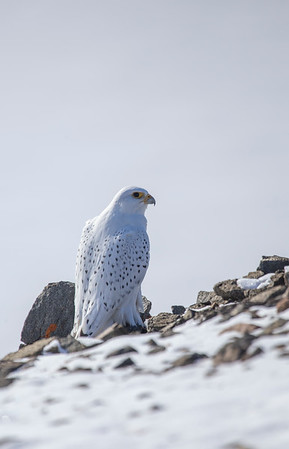 We find a gyrfalcon on the southern edge of Dundas' cliffs
