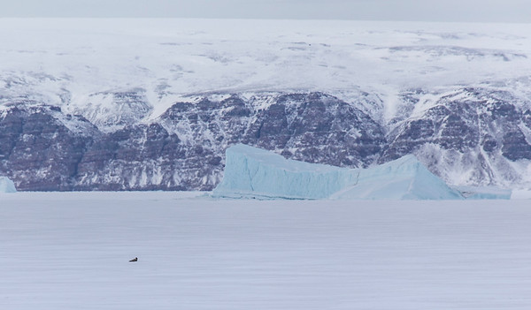 A seal on the sea ice in front of an iceberg and the opposite shore of Wolstenholme Fjord