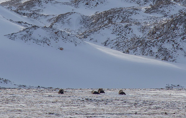 Musk oxen on the way to 12-SWS