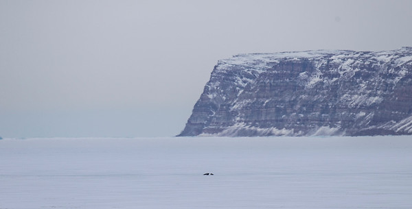 Two ring seals out on the sea ice in front of Saunders Island