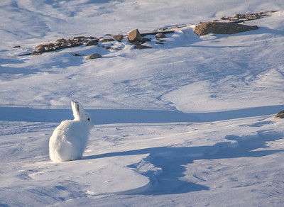 An arctic hare along the side of the road on North Mountain