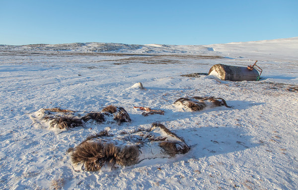 A number of relatively fresh musk oxen pelts left outside a house in the village to freeze