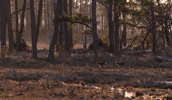 A couple Sika deer wander around Assateague Island