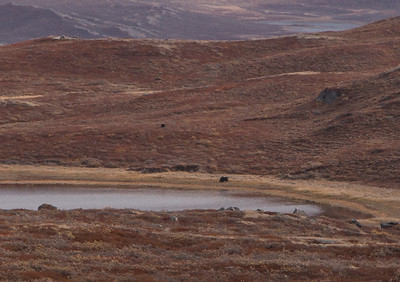 A couple of musk ox outside of town