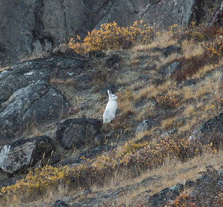 An Arctic hare on Mt. Evans