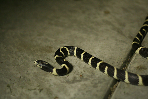 Common King Snake...in our garage.  Took this before I released it in the field.  Rare in CA, so I've read.