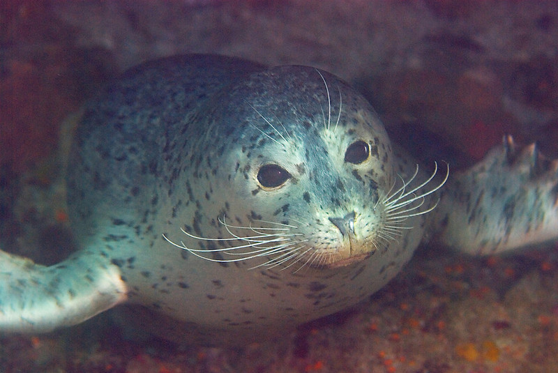 Harbor seal, Phoca vitulina; Malibu - photo by Scott Gietler
